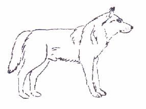 Tschechoslowakischer Wolfshunde - Rüde